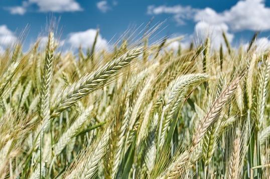 Купить пшеницу оптом в Агроэлите